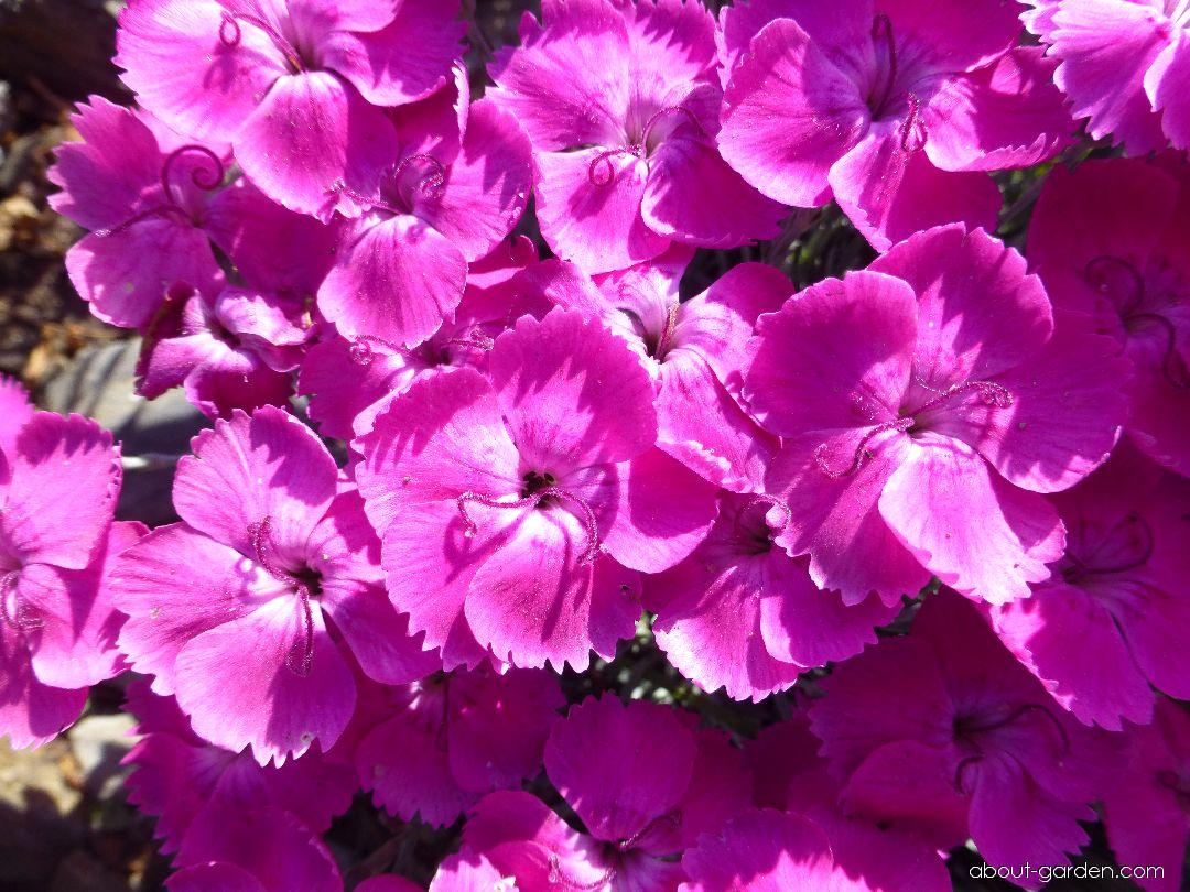 Cheddar Pink - Dianthus gratianopolitanus Whatfield Magenta