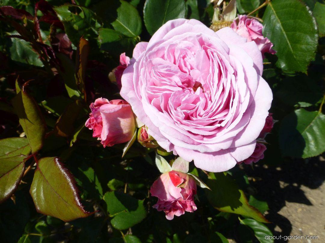 Růže Rosengräfin Marie Henriette - Mnohokvěté růže, polyantky (Rosa)