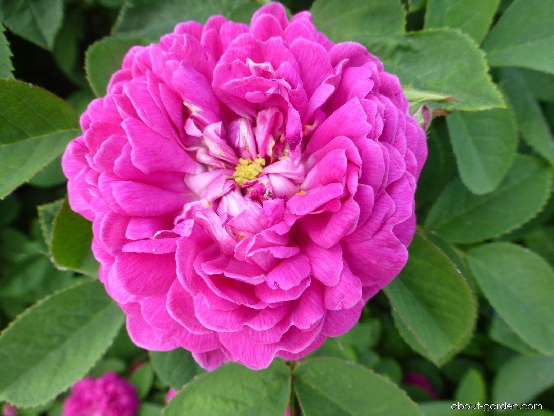 Rose - Rosa Rose de Resht