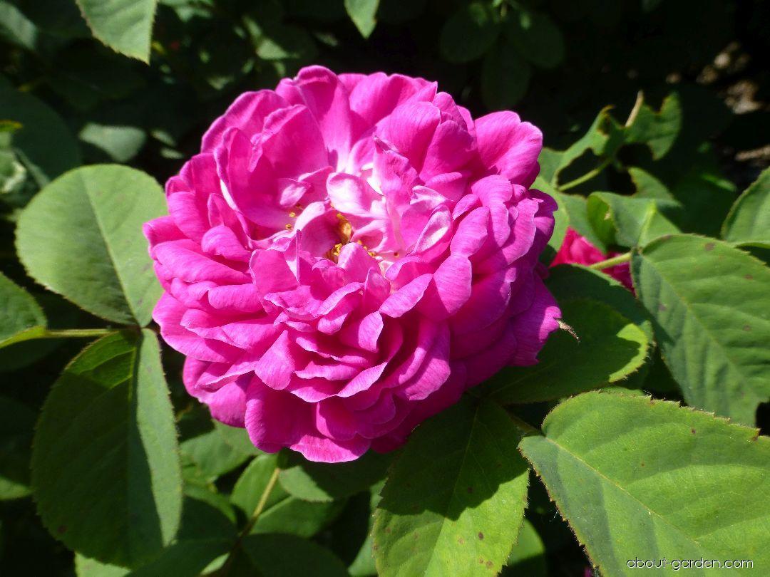 Růže damascénská Rose de Resht - květ (Rosa x damascena)