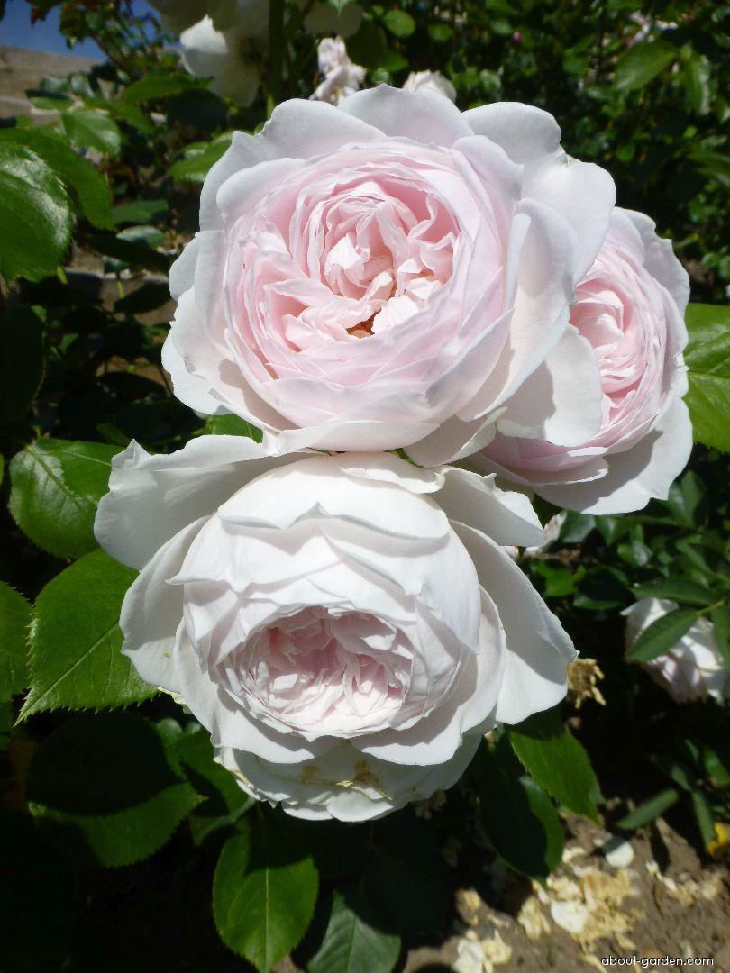 Rose - Rosa Herzogin Christiana