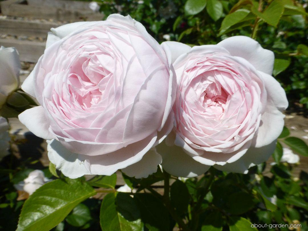Rose - Rosa Herzogin Christiana