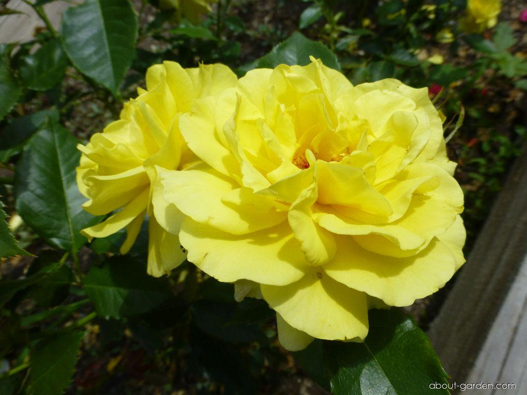 Rose - Rosa Friesia