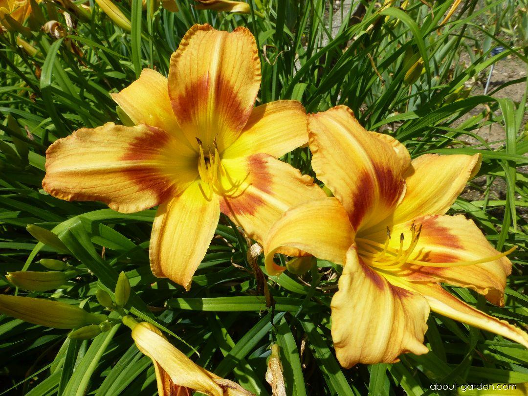 Hemerocallis Tiger Eye Hager (Daylily)