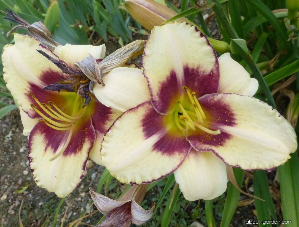 Daylily - Hemerocallis Alaqua