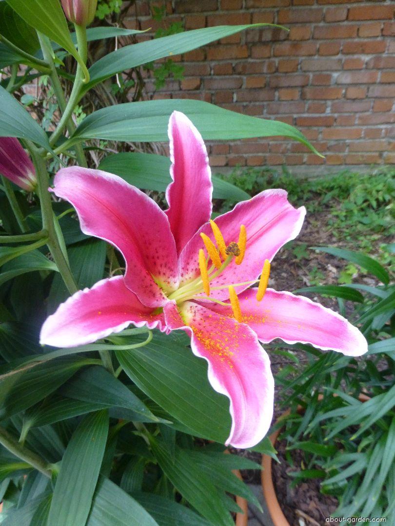 Lily - Lilium x hybridum Kings Gross
