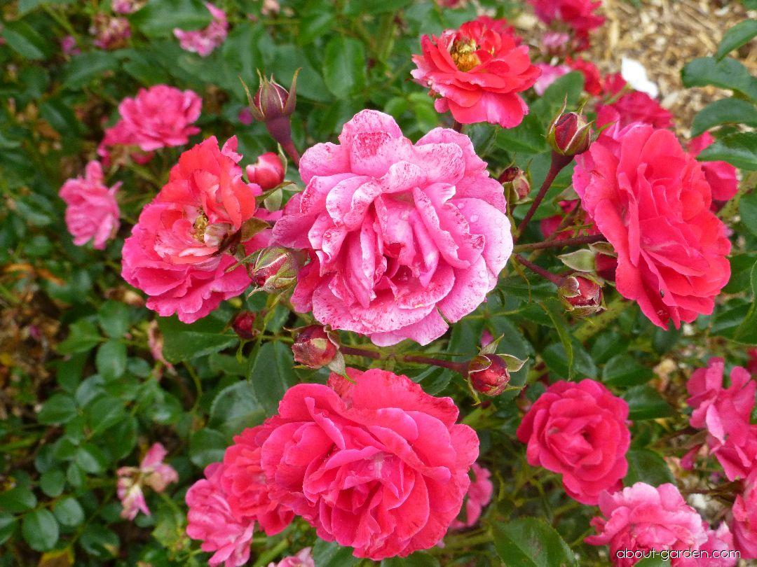 Rose - Rosa Heidefeuer