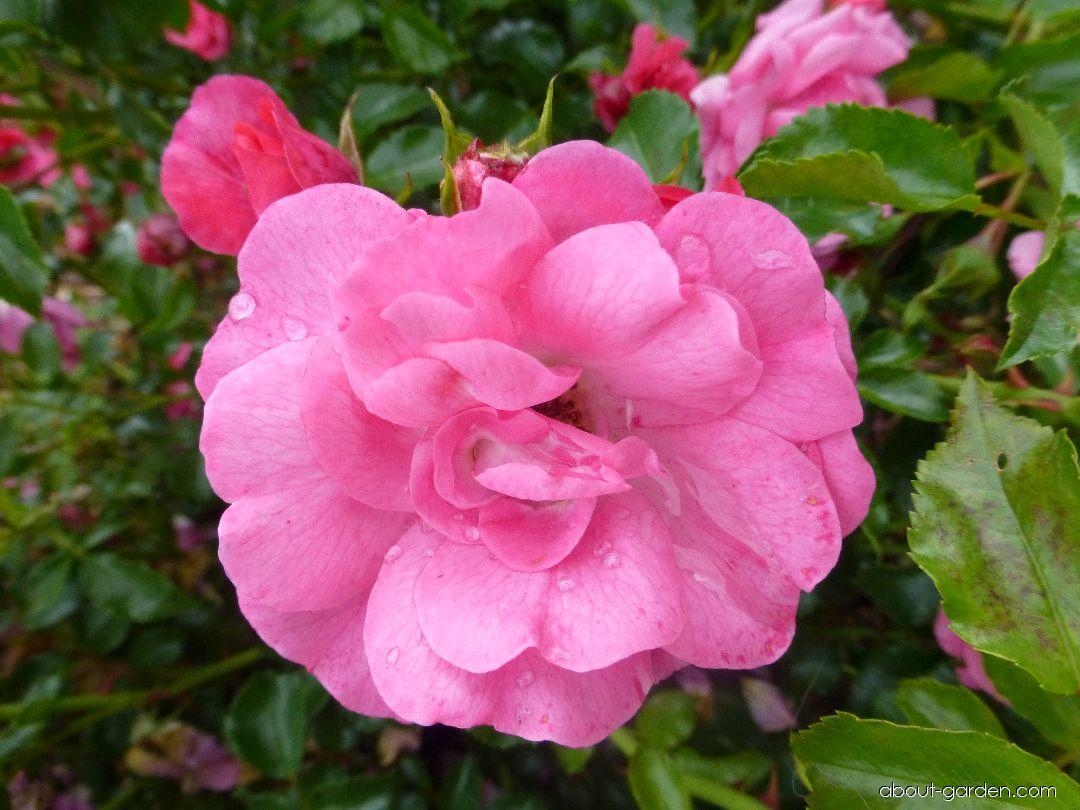 Rose - Rosa Heidetraum