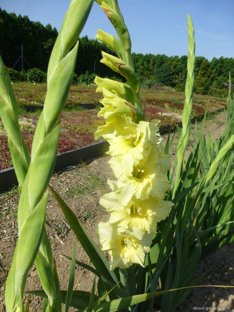 Gladiolus - Gladiolus Citrín