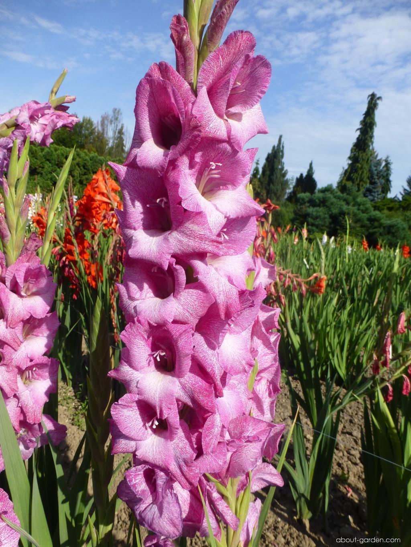 Gladiolus - Gladiolus Canopus Exotic