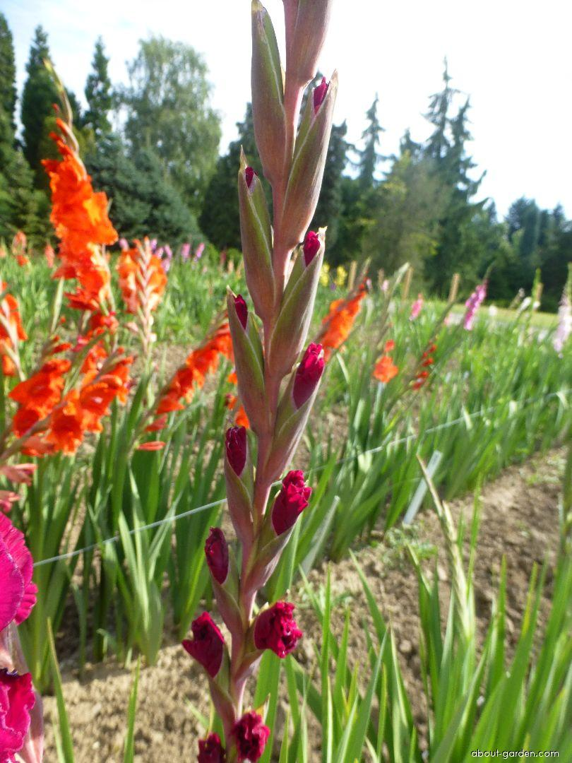 Gladiolus - Gladiolus Mallorca Exotic