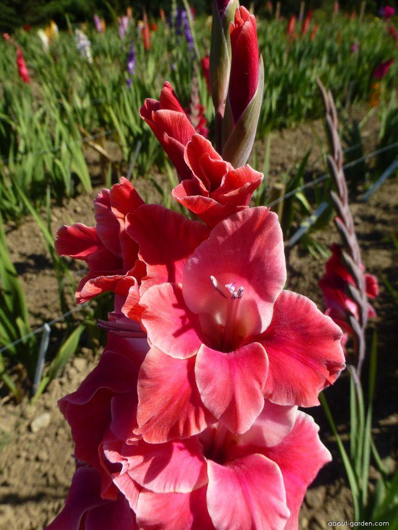 Mečík Astéria (Gladiolus x hybridus)