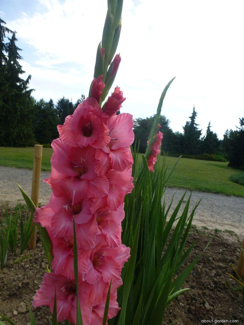 Gladiolus 'Romulus' (Gladiolus) - flowers