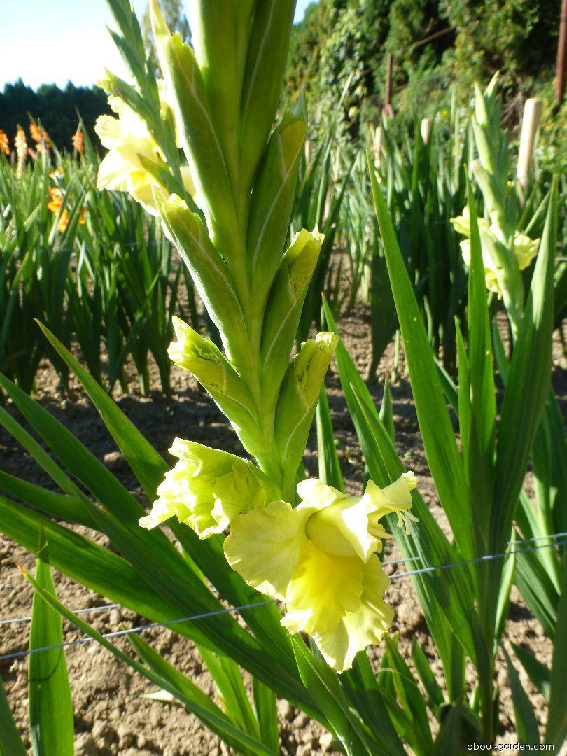 Mečík Limelight (Gladiolus x hybridus)