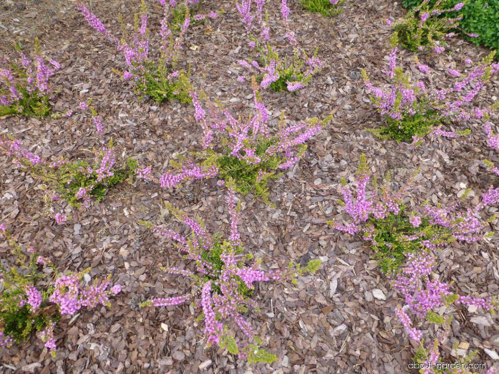 Heather - Calluna vulgaris Golden Wonder