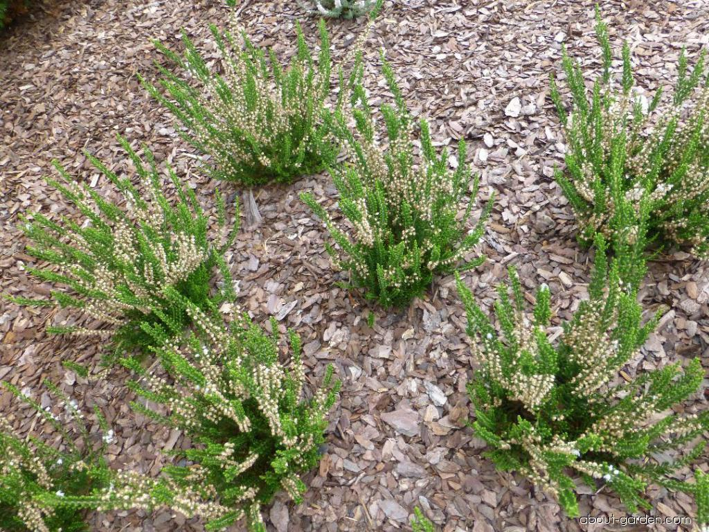 Calluna vulgaris Crinkly Tuft (Heather)