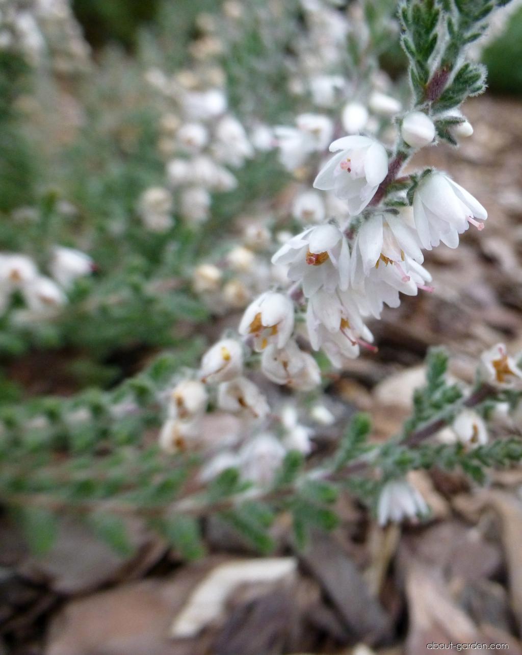 Heather - Calluna vulgaris Beoley Silver