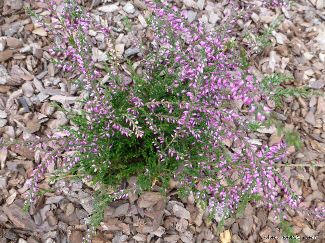 Heather - Calluna vulgaris Andrie