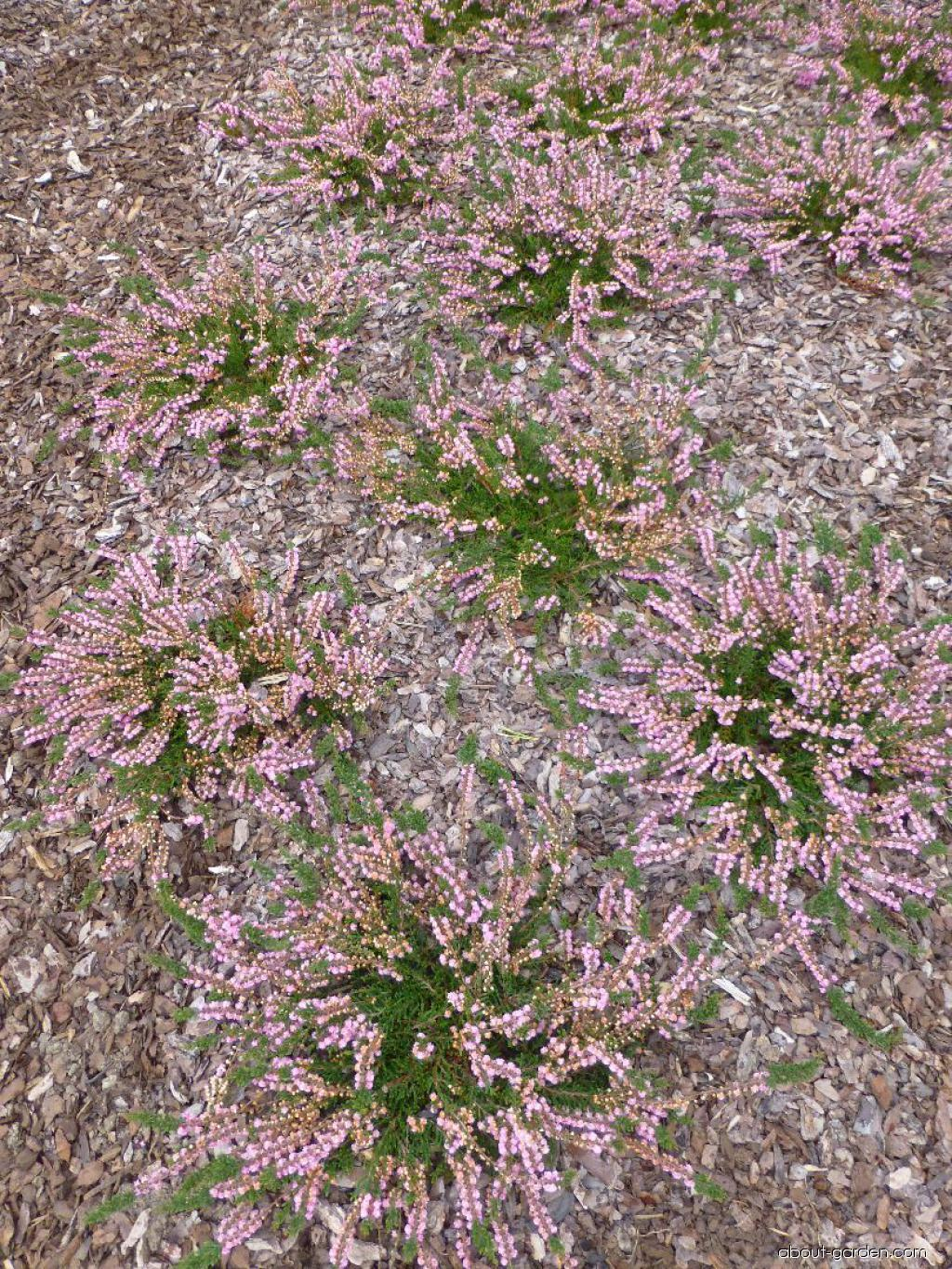 Vřes obecný Red Favorit (Calluna vulgaris)