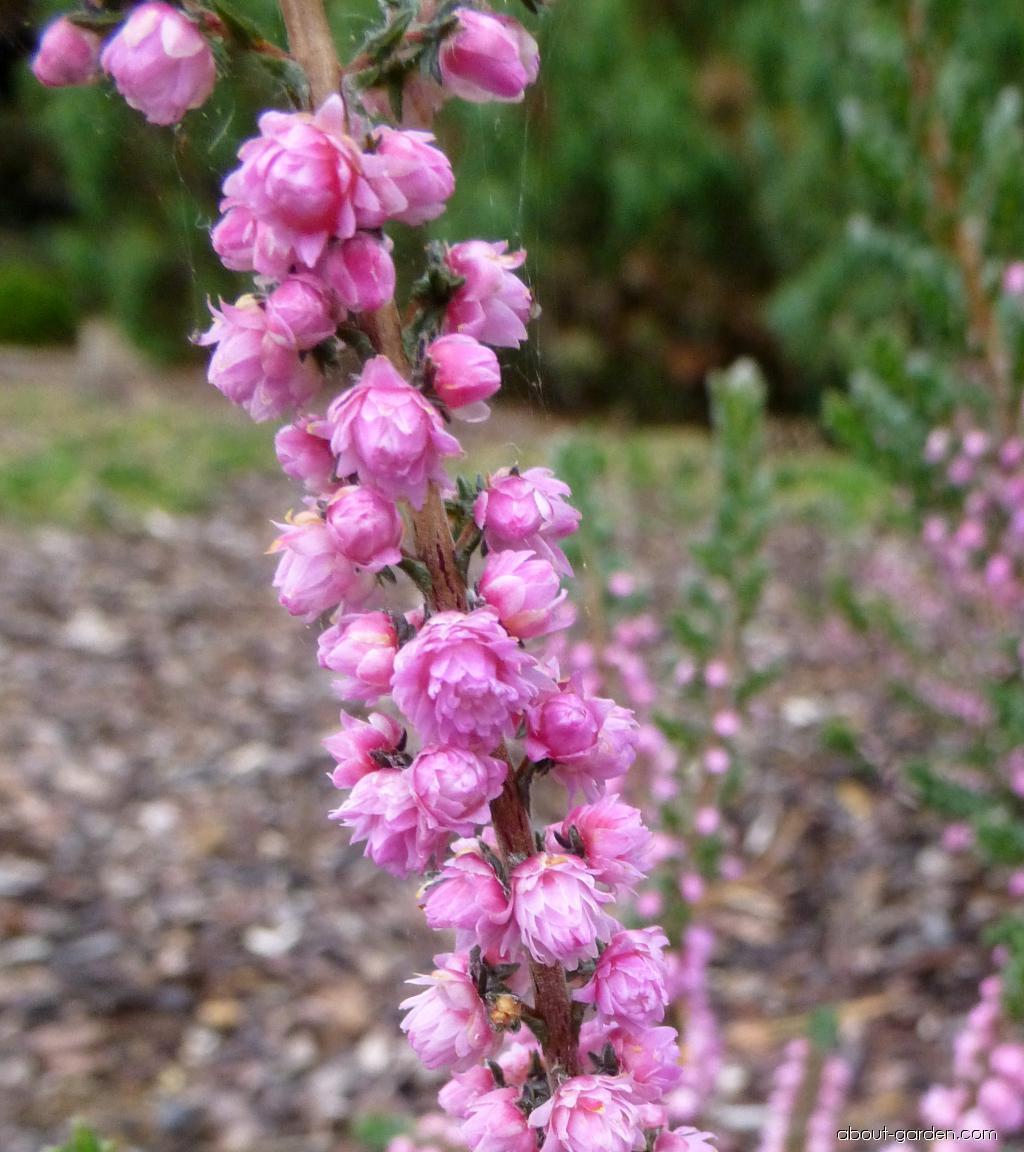 Vřes obecný Herbstfeuer (Calluna vulgaris)