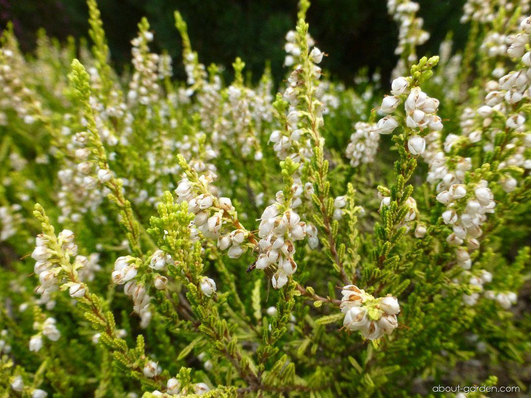Vřes obecný Aurea (Calluna vulgaris)