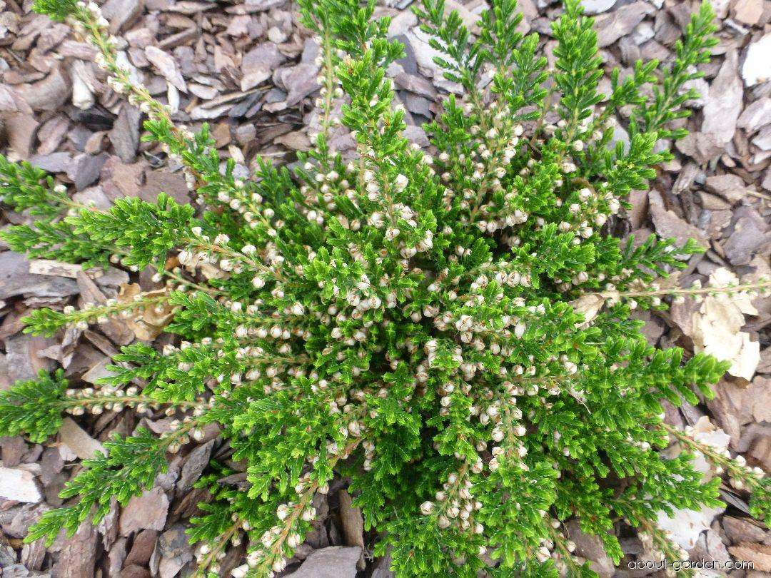 Vřes obecný Martha (Calluna vulgaris)