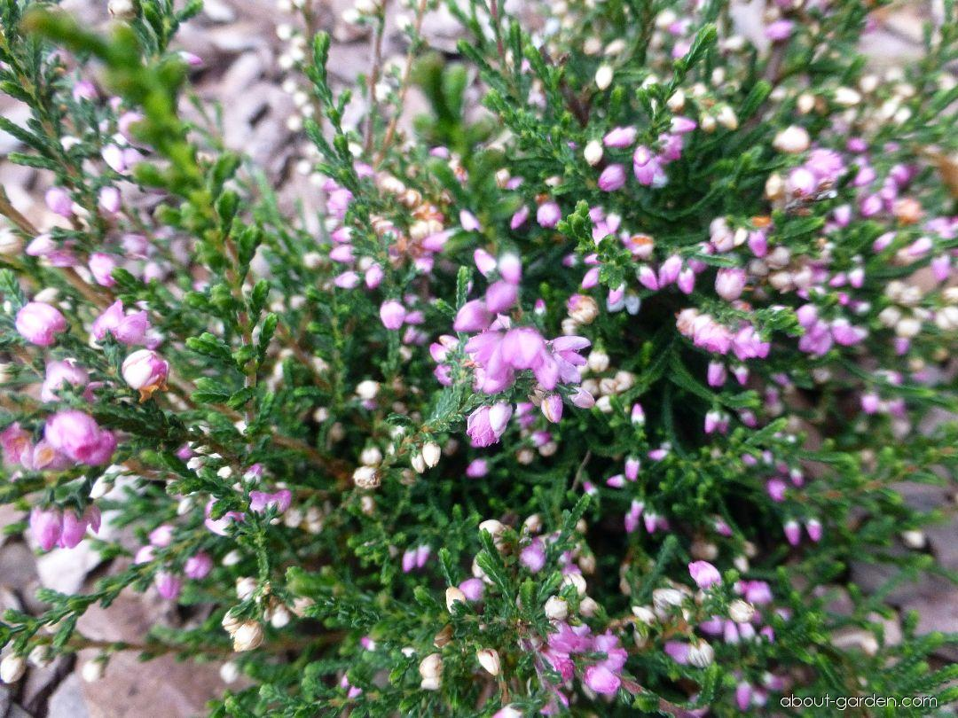 Vřes obecný Devon (Calluna vulgaris)