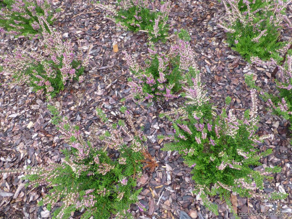 Vřes obecný Corbett s Red (Calluna vulgaris)