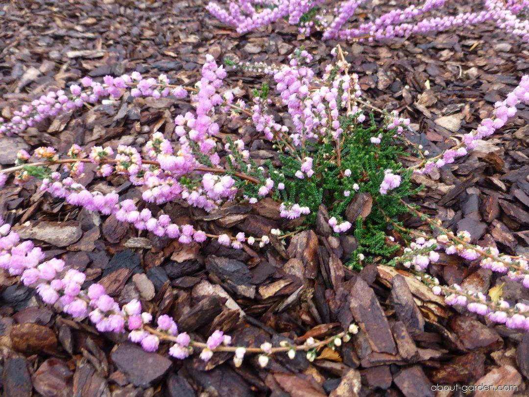 Vřes obecný Annemarie (Calluna vulgaris)