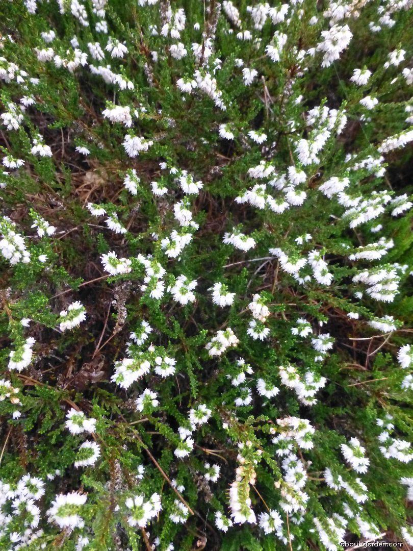 Vřes obecný Spring Cream (Calluna vulgaris)