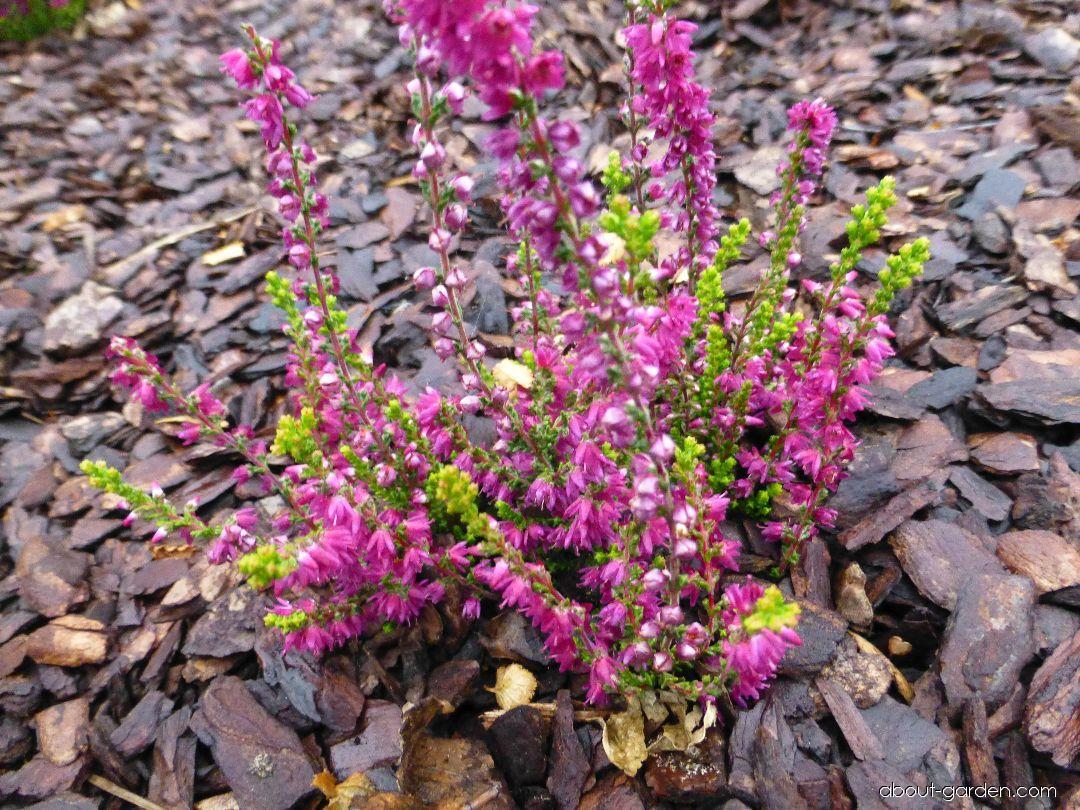 Vřes obecný Con Brio (Calluna vulgaris)