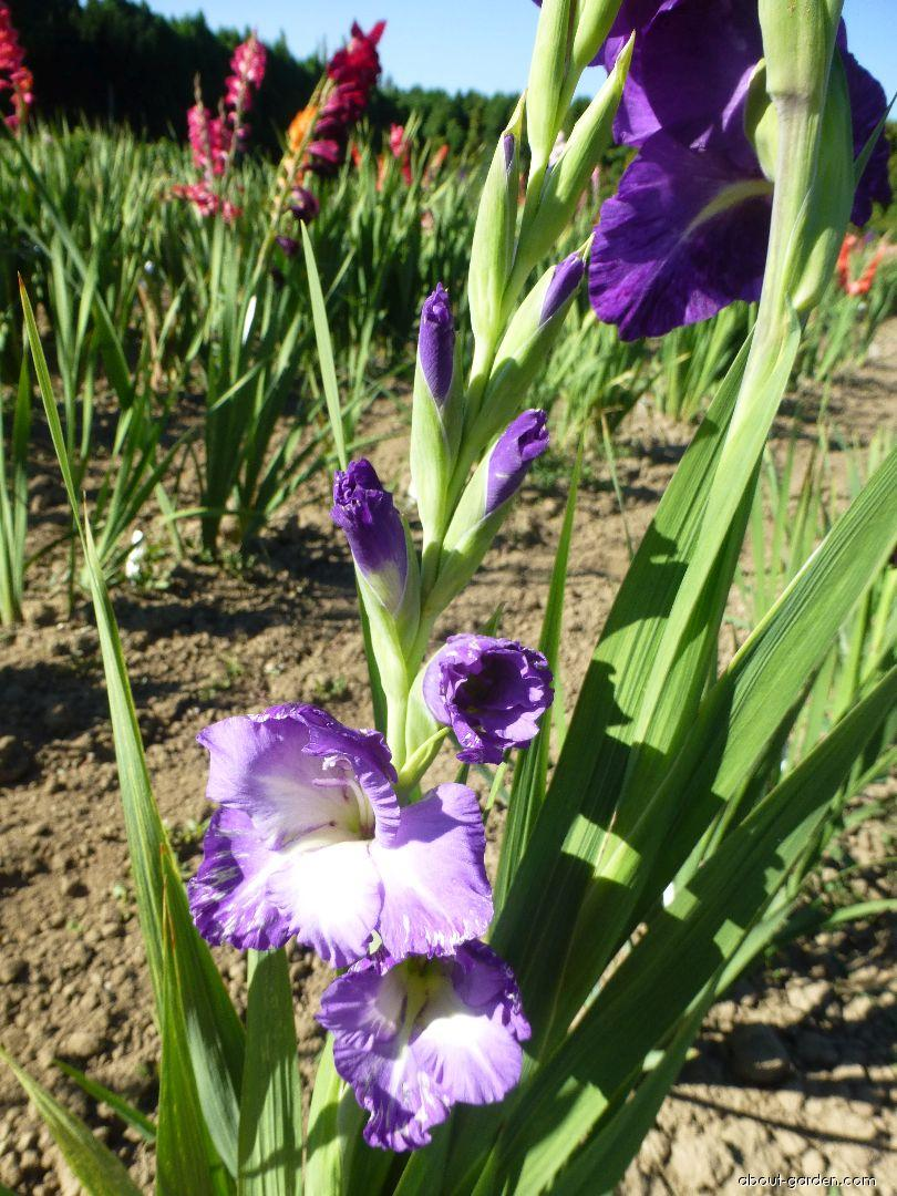 Mečík Magdaléna (Gladiolus x hybridus)