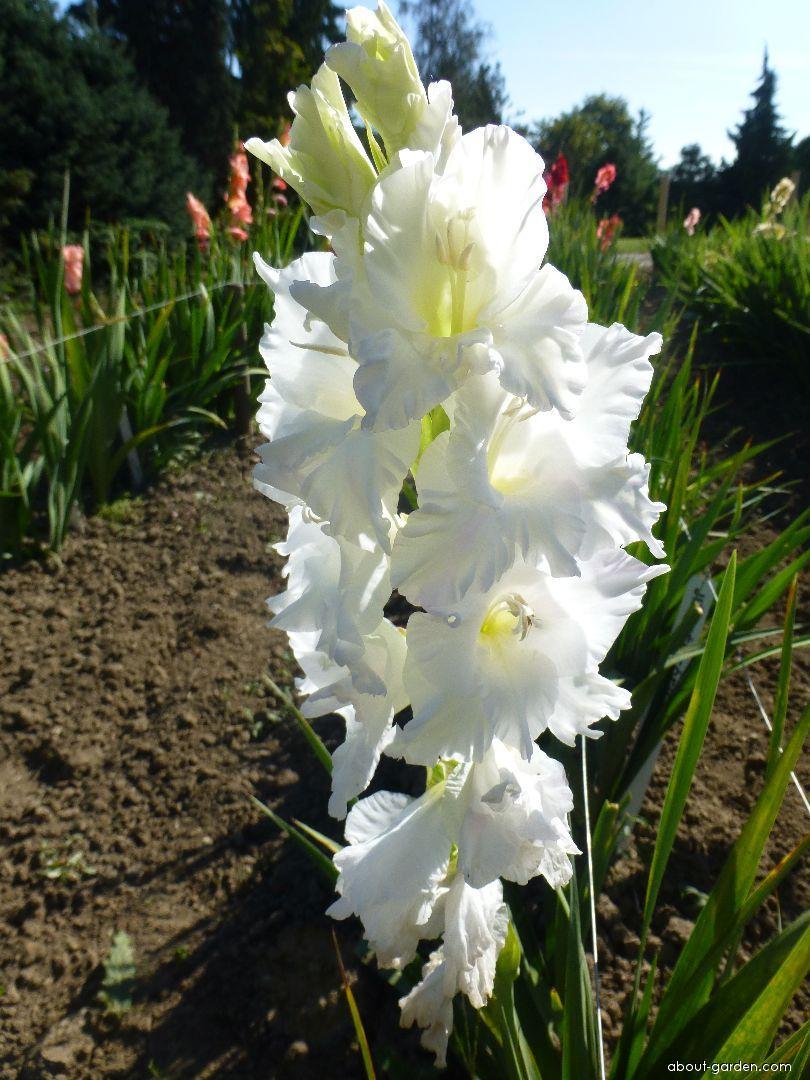 Mečík Jiří Němeček (Gladiolus x hybridus)