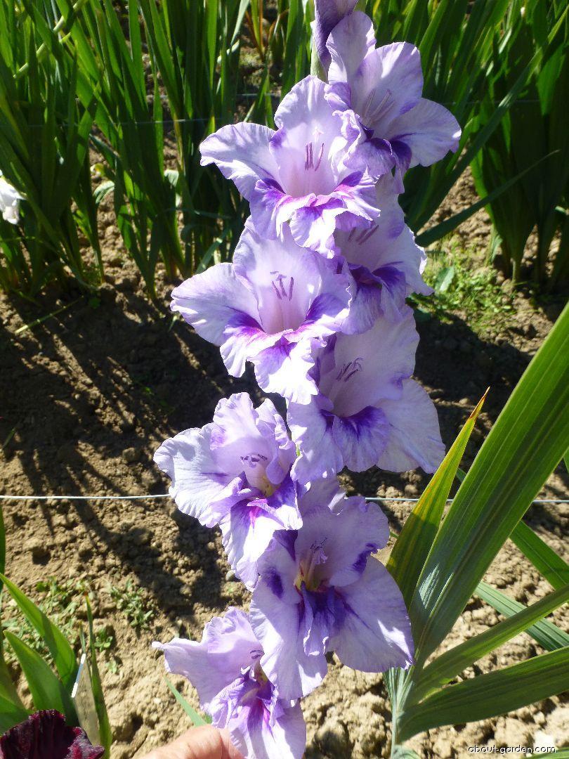 Mečík Nered (Gladiolus x hybridus)