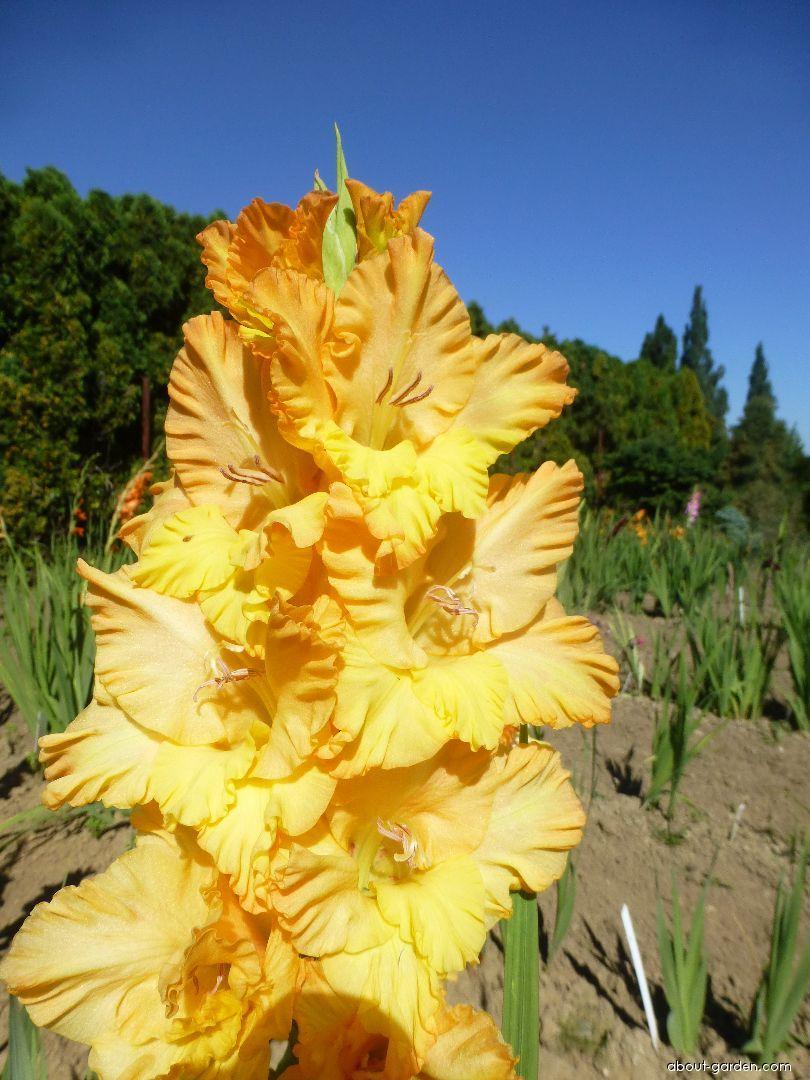 Mečík Olympia - květ (Gladiolus x hybridus)