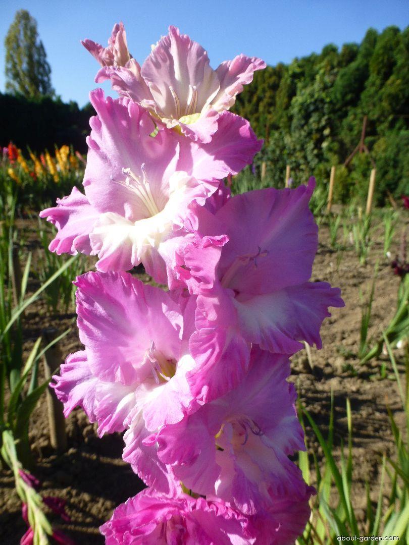 Mečík Harmonia - květ (Gladiolus x hybridus)