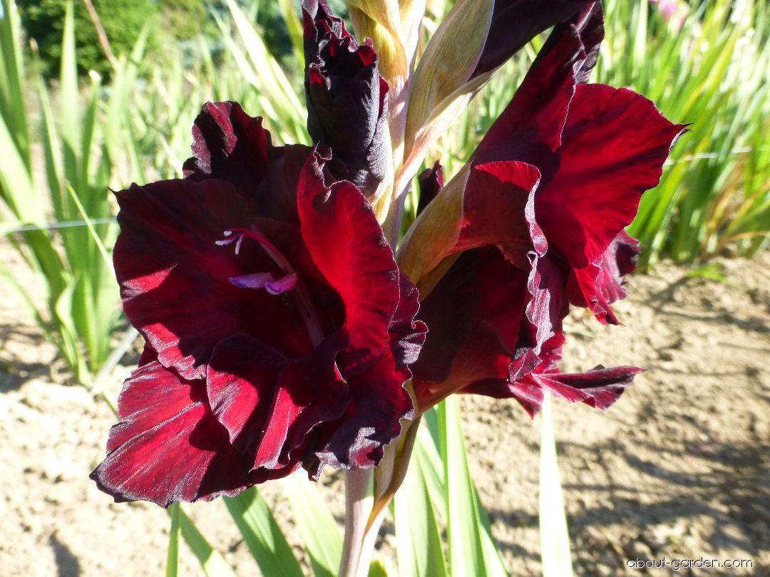 Mečík Černý kámen - květ (Gladiolus x hybridus)