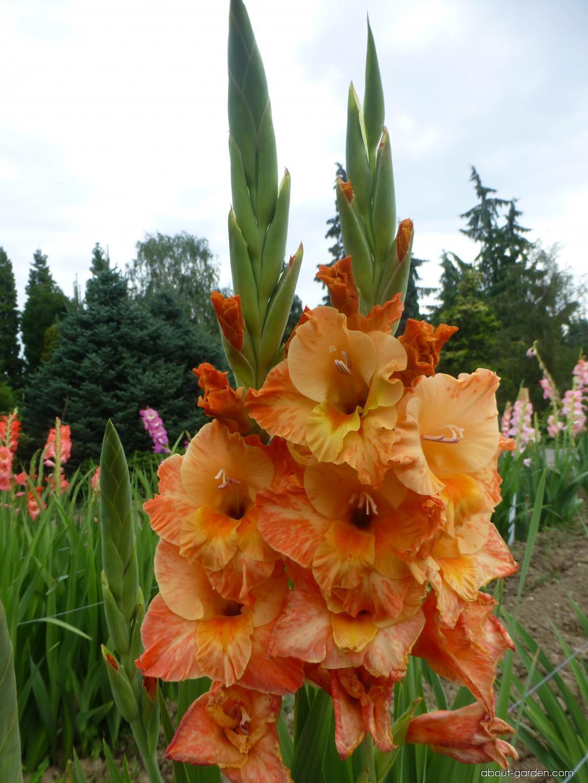 Mečík Bellona (Gladiolus x hybridus)