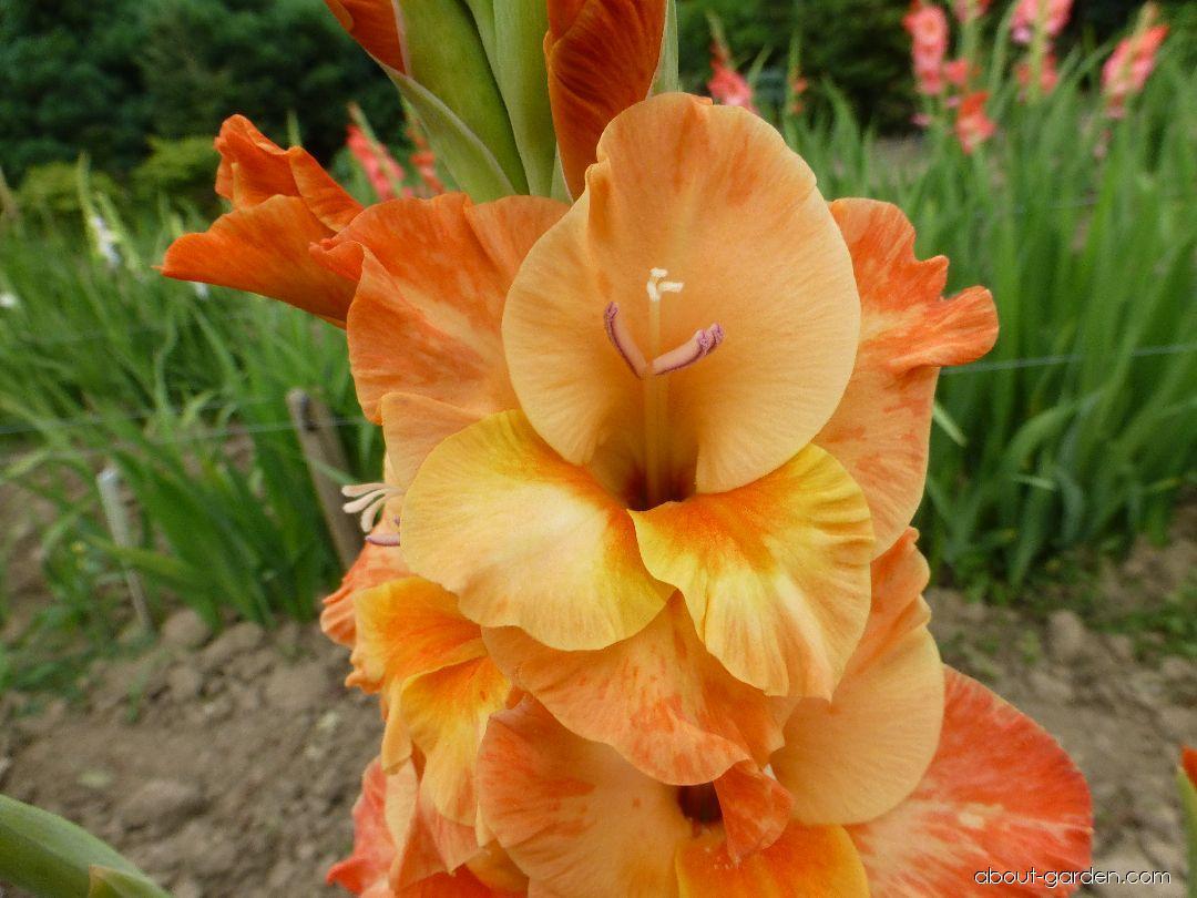 Mečík Bellona - květ (Gladiolus x hybridus)