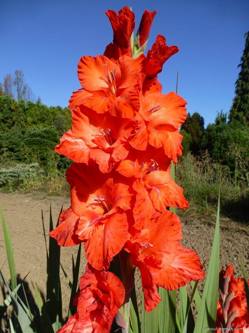 Mečík Milinko Berny - květ (Gladiolus x hybridus)