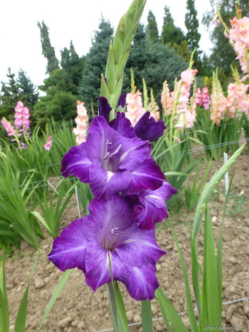 Mečík Blue Isle (Gladiolus x hybridus)