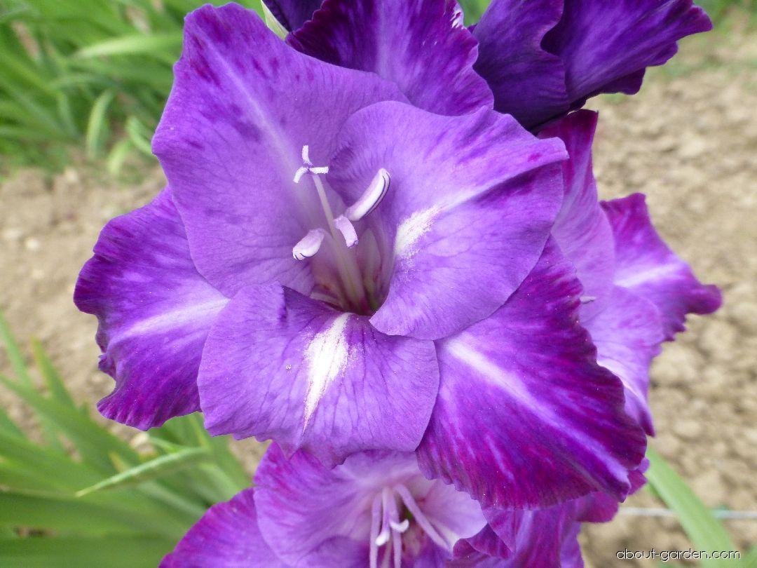 Mečík Blue Isle - květ (Gladiolus x hybridus)