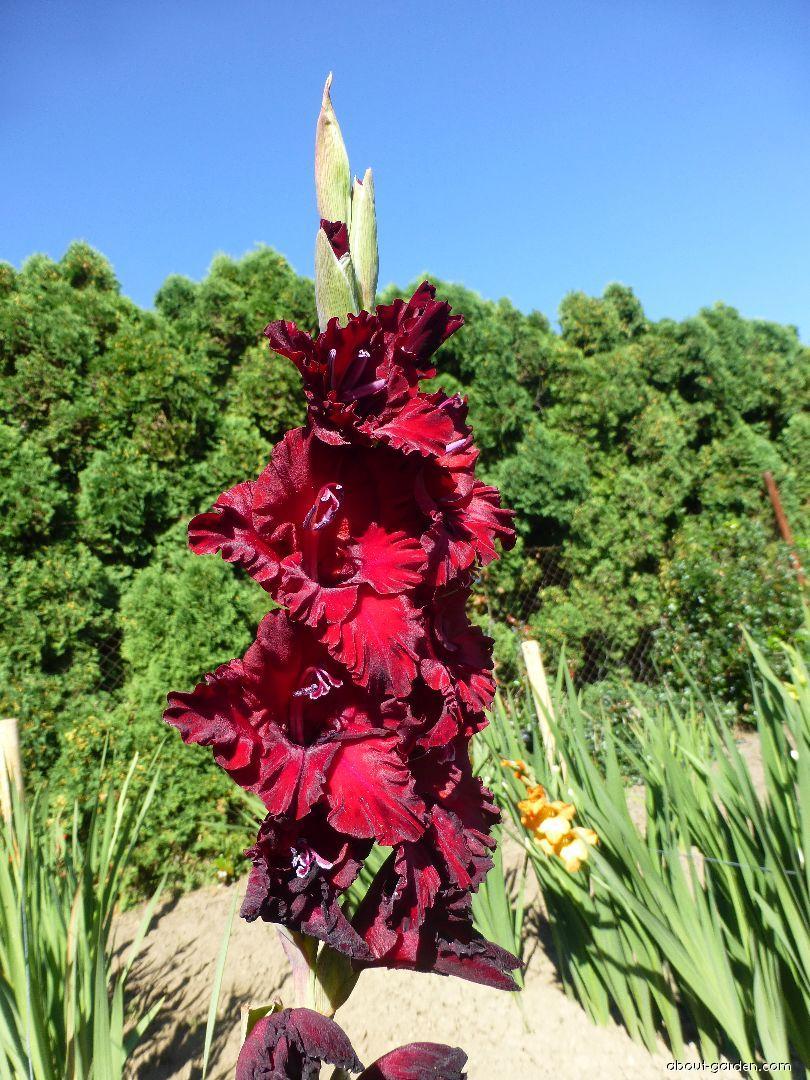Mečík Černý drahokam (Gladiolus x hybridus)