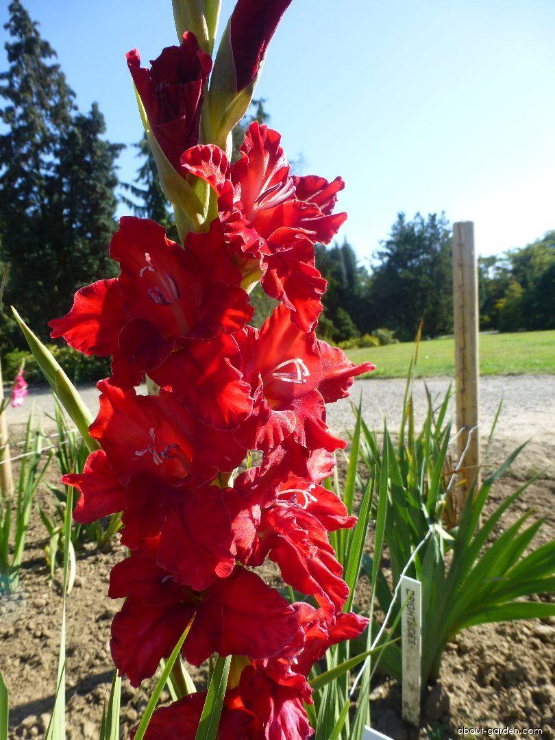 Mečík Bon Mot (Gladiolus x hybridus)