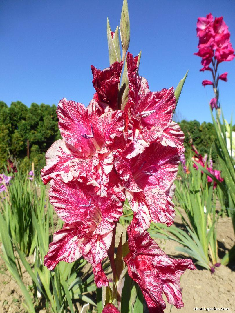 Mečík Narog (Gladiolus x hybridus)