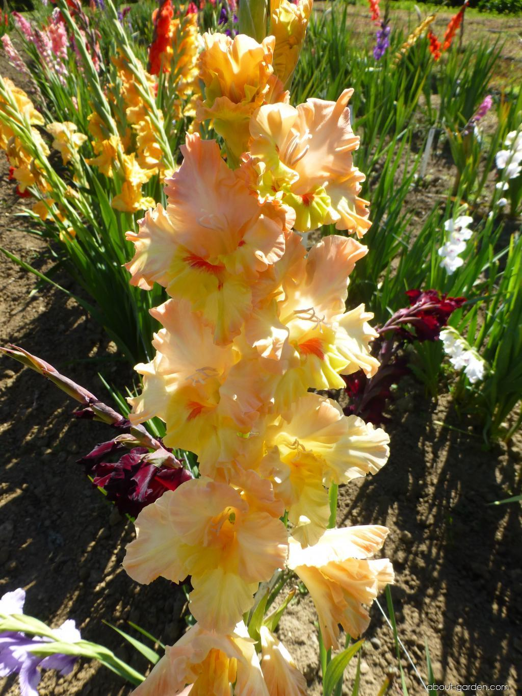 Mečík Nemesis (Gladiolus x hybridus)