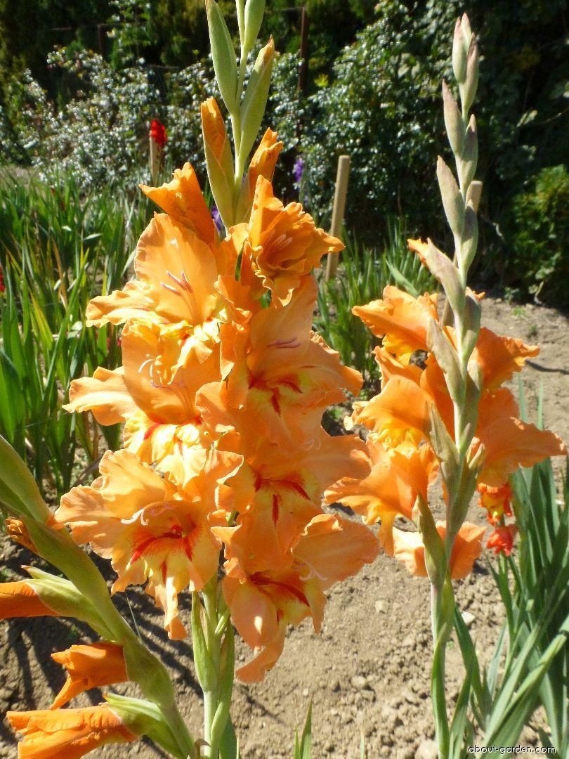 Mečík Simona (Gladiolus x hybridus)