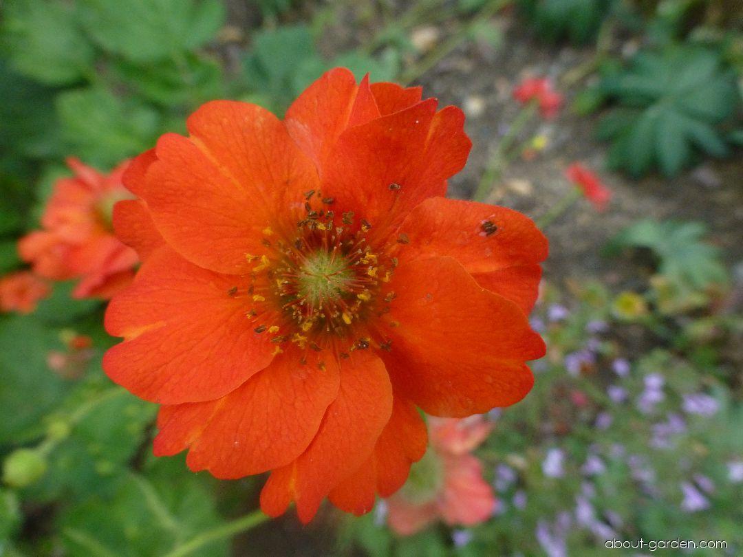 Kuklík chilský Feuerball - květ (Geum chiloense)