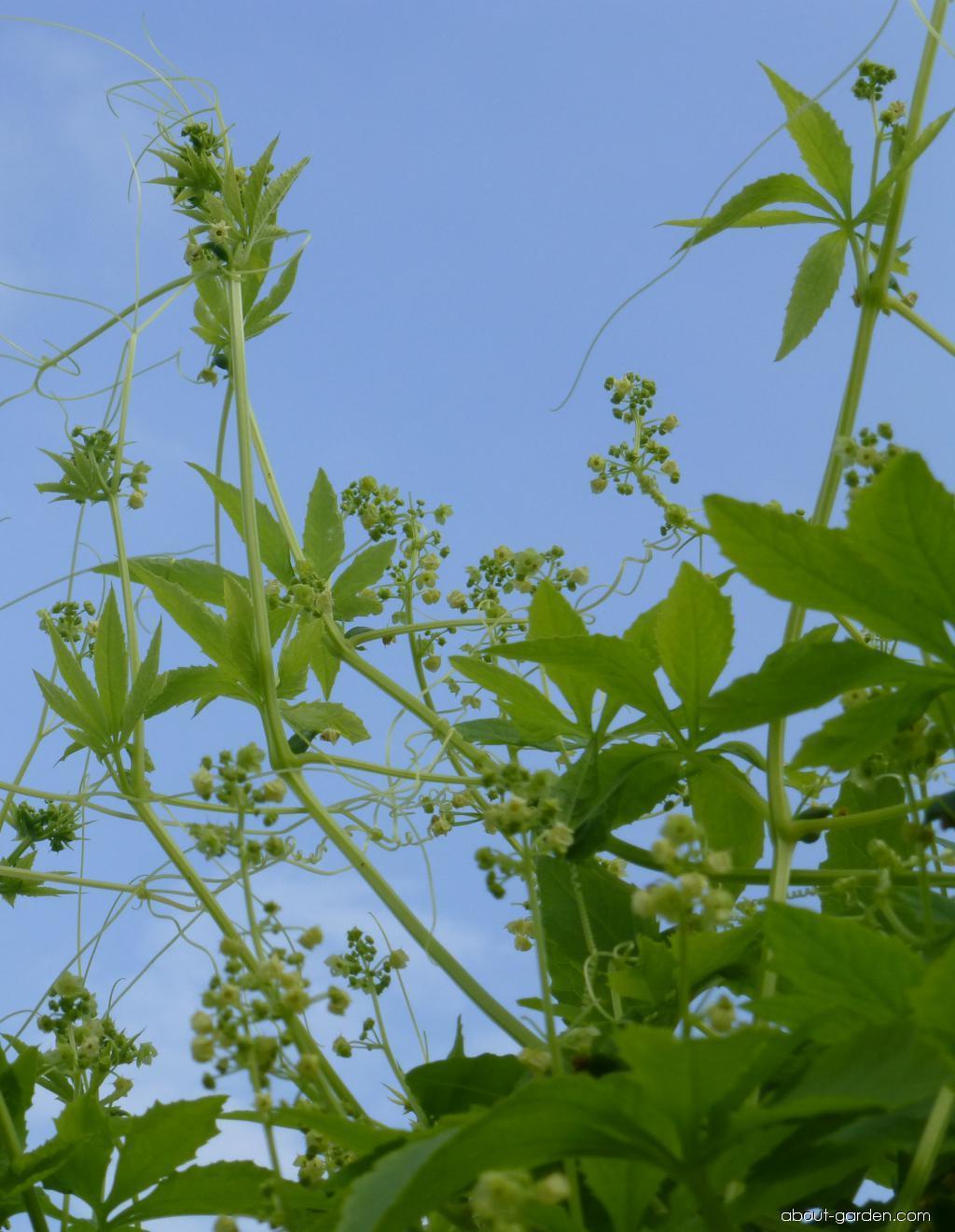 Ačokča (Cyclanthera pedata)