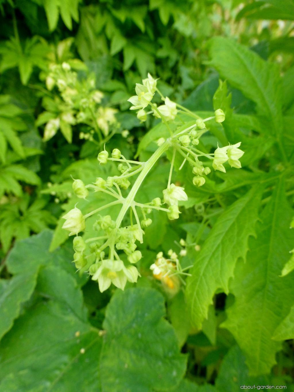 Ačokča - květ (Cyclanthera pedata)